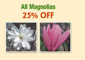 ALL Magnolias 25% OFF